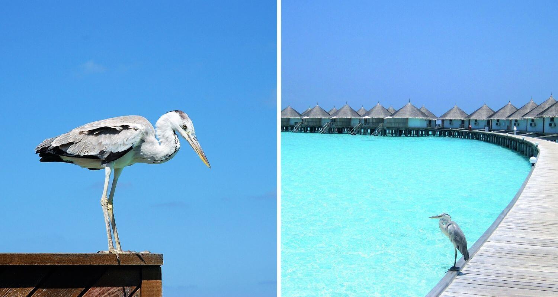 Héron aux Maldives