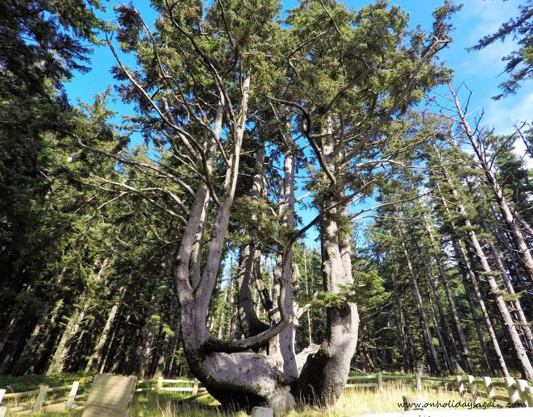 Octopus Tree à Cape Meares en Oregon