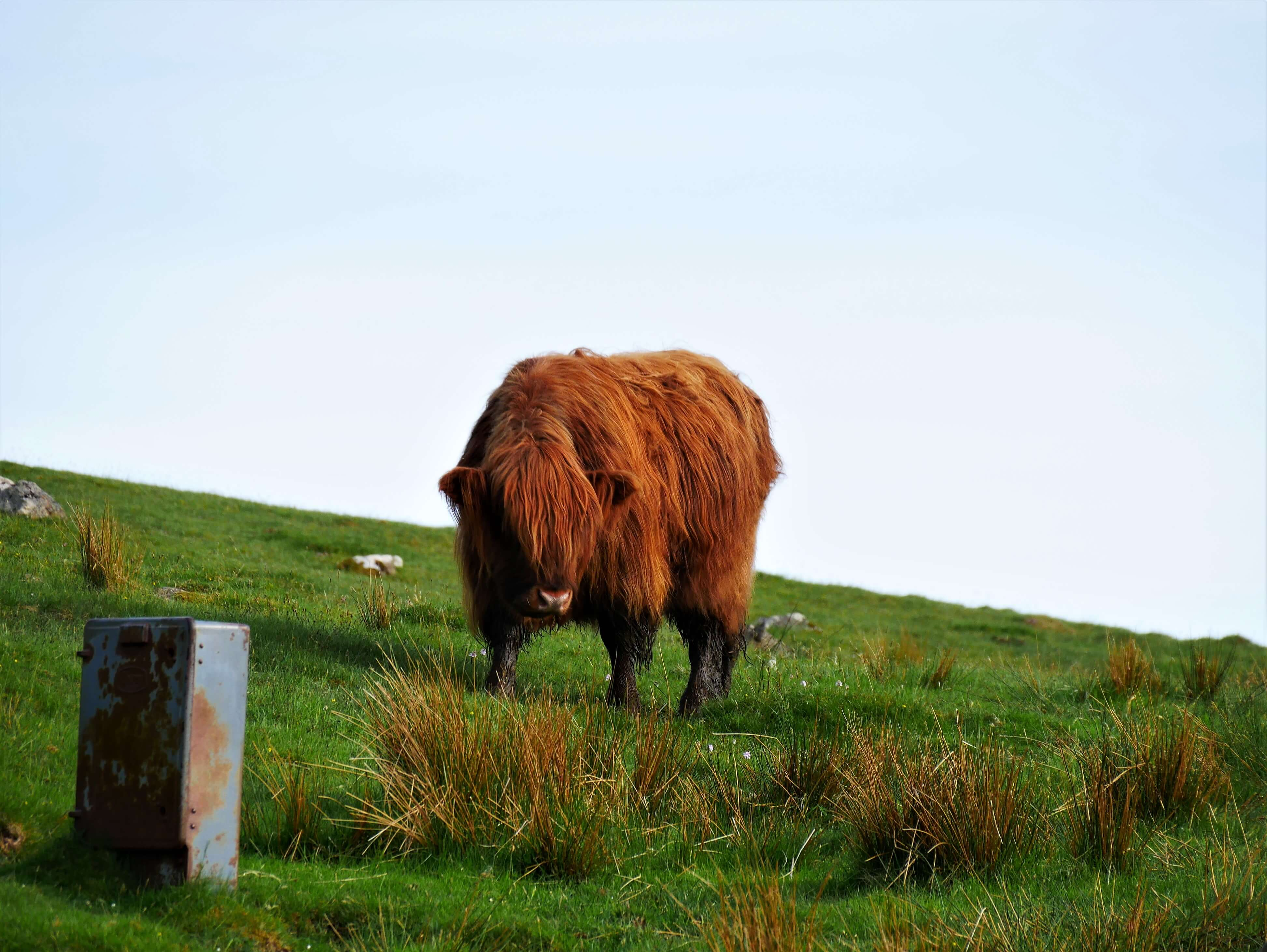 Arrêter son road trip en Ecosse pour photographier une vache