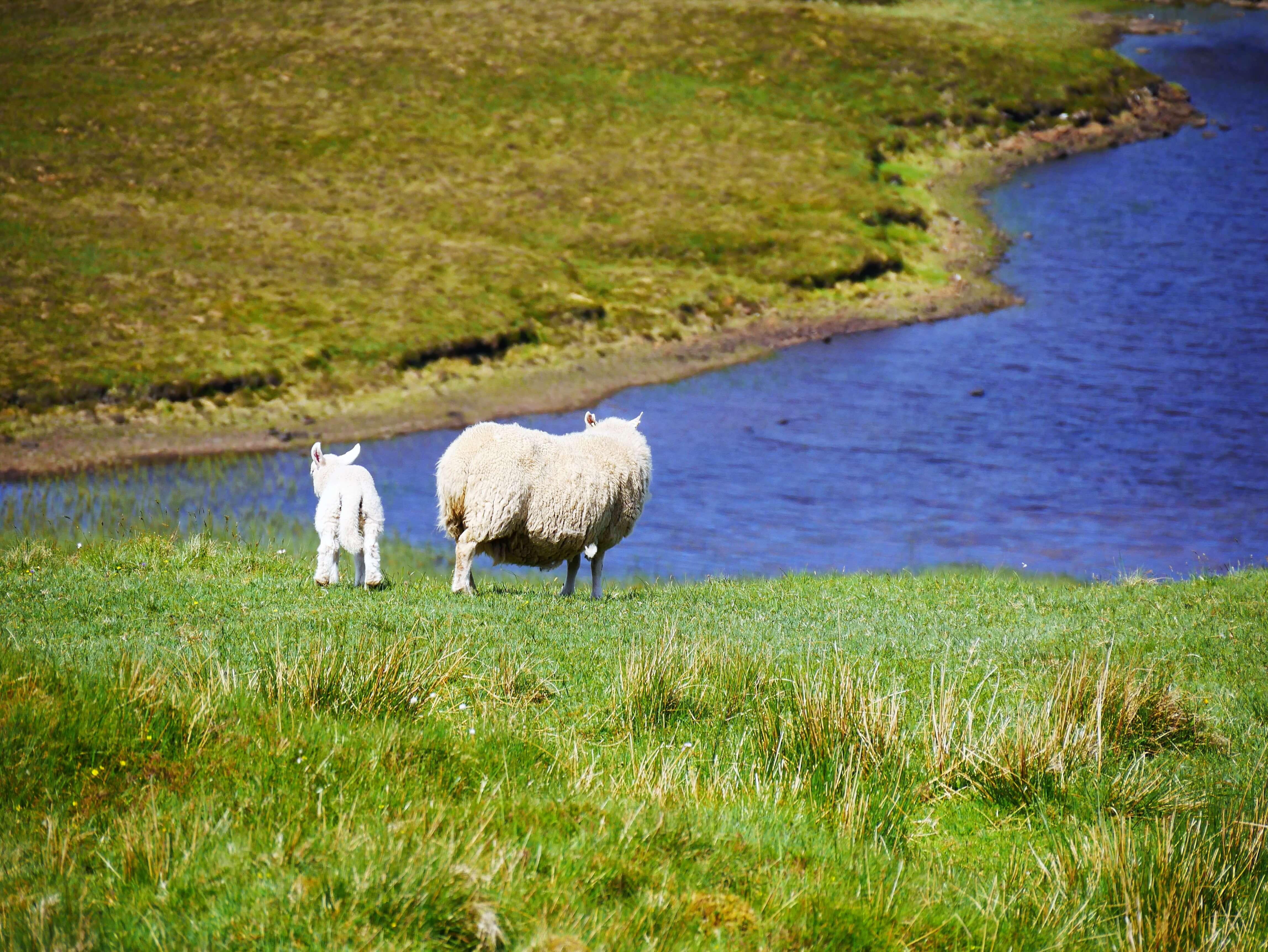 Contempler le paysage avec des moutons en road trip en Ecosse