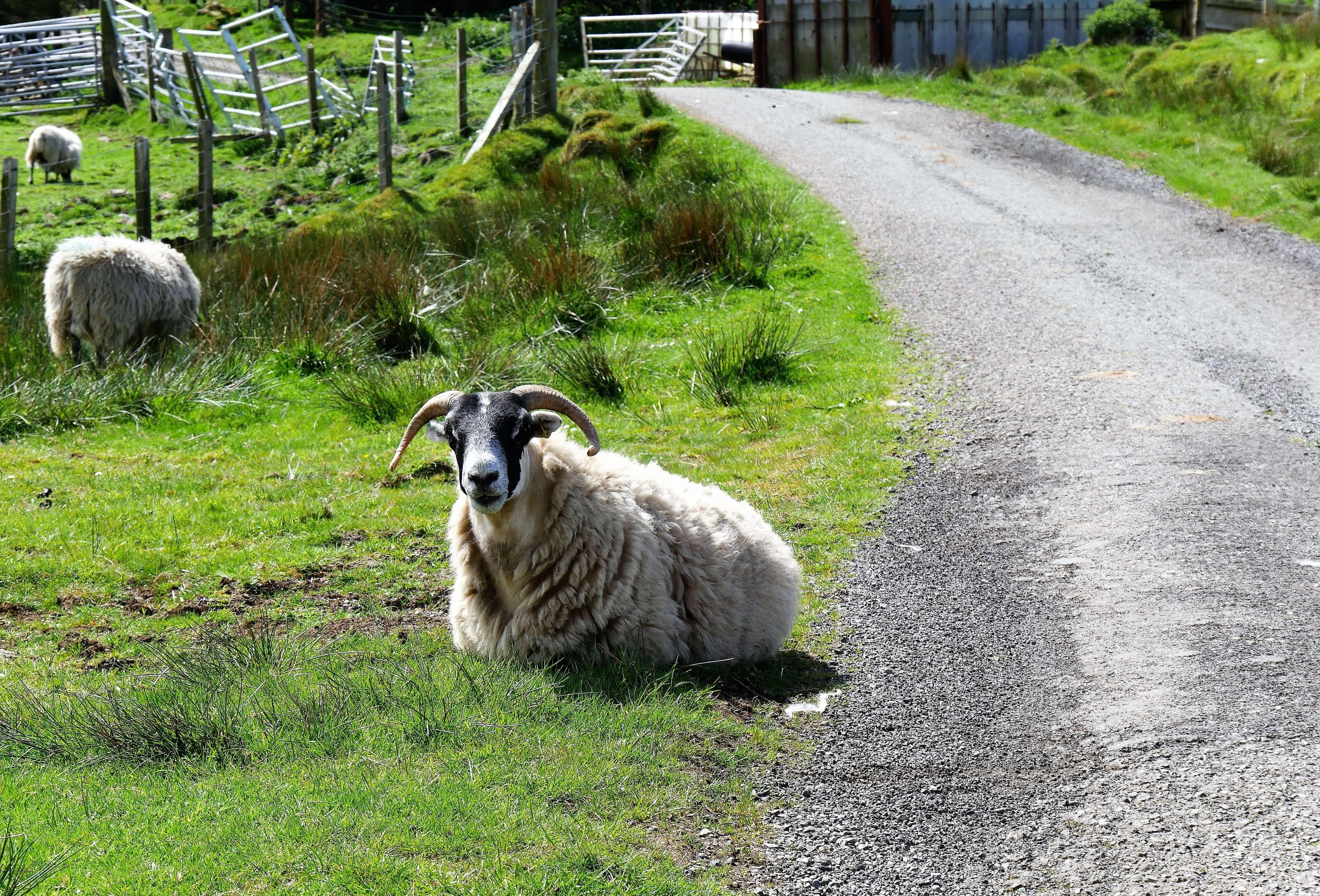 Un bon road trip en Ecosse c'est rencontrer des moutons