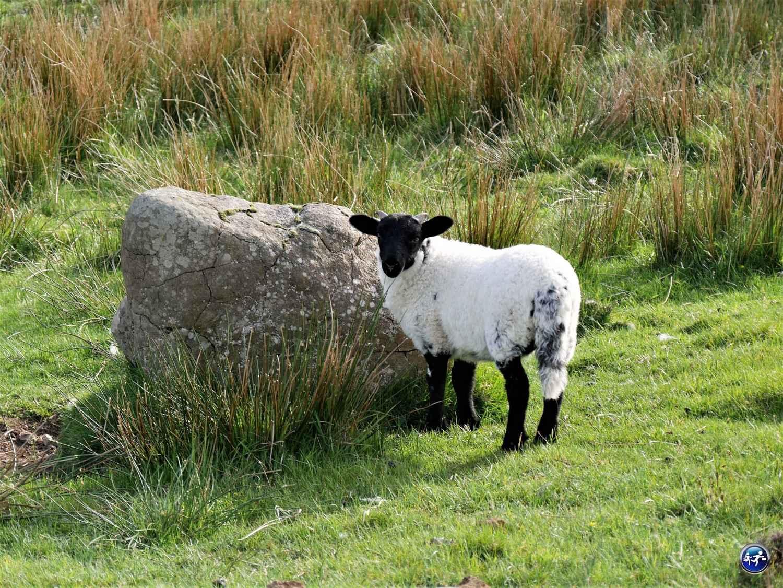 Un petit agneau à tête noire sur l'Ile de Skye en Ecosse