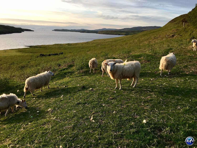 Visiter l'ile de Skye c'est des moutons au coucher du soleil