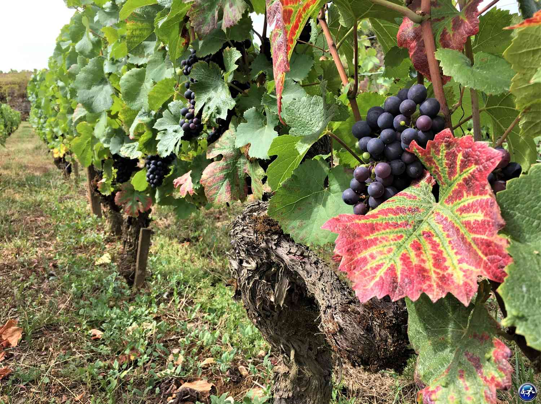 Vignes de la Côte de Nuits en Bourgogne