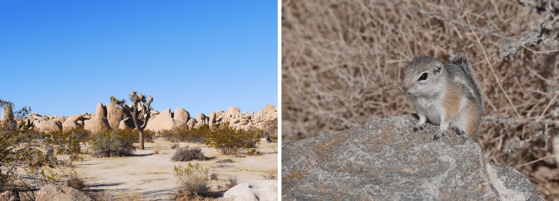 Le Joshua Tree et un Chimpmunk en Californie du Sud