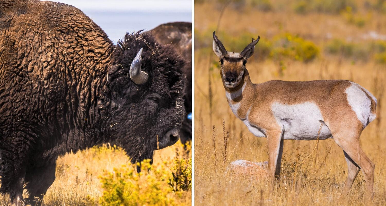 Bison et antelope de Antelope Island dans l'Utah