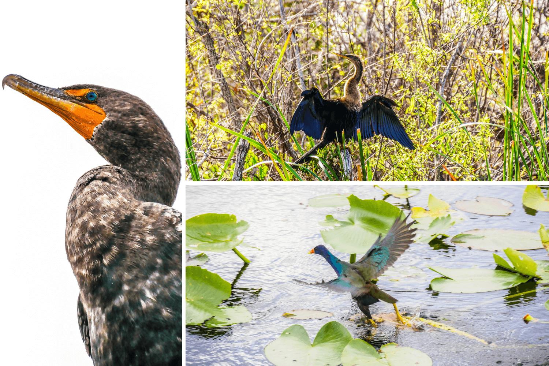Oiseaux des Everglades en Floride