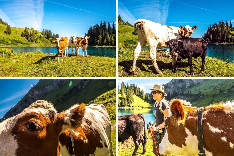 Vaches au Lac Lioson