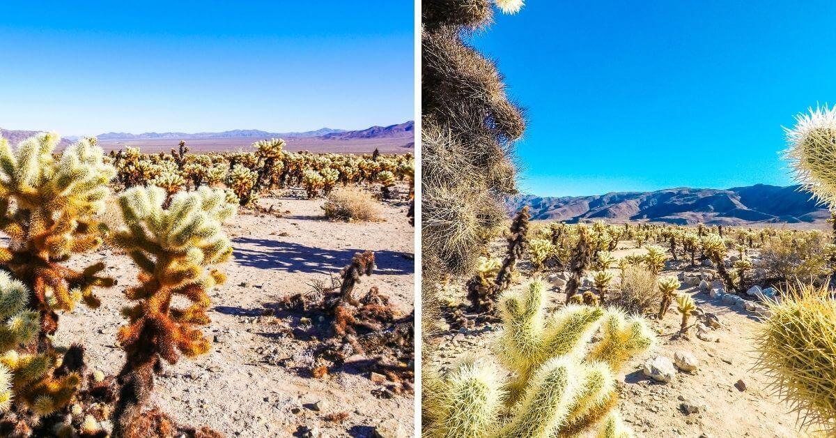 Cactus Cholla Garden désert californien Joshua Tree