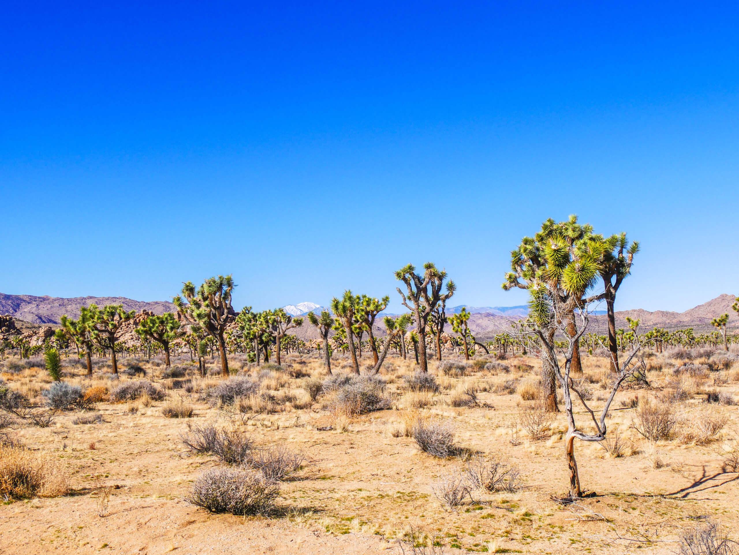 Joshua Tree champs de Yucca brevifolia